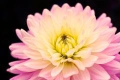 Detaljer av att blomma rosa gult fotografi för makro för ny blomma för dahlia Färgfoto som betonar olika toner arkivbilder