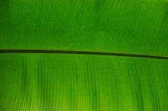 Detaljer av bananbladet, slut upp, sikt från tillbaka arkivbild