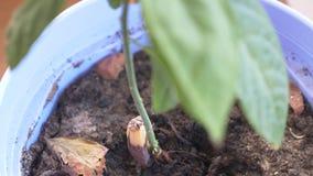 Detaljer av den spirade avokadot k?rnar ur 4k som flyttar fokusen arkivfilmer