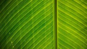 Detaljer av det stora gröna bladet, slut upp av bladet arkivfoton