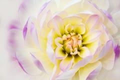 Detaljer av det vita, gula och purpurfärgade slutet för dahliablommamakro upp fotografi som isoleras på vit bakgrund royaltyfri foto