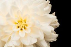 Detaljer av det vita och gula slutet för dahliablommamakro upp fotografi Foto i färg som betonar härliga dahliatexturformer royaltyfri bild