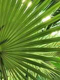 Detaljer av en Bismarckia palmblad royaltyfri foto