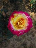Detaljer av en färgrik ros royaltyfria foton