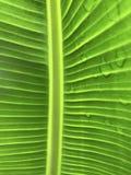 Detaljer av ett bananblad Royaltyfri Bild