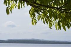 Detaljer av filialer av ett träd i tropiskt klimat, den Caroni floden och berg på bakgrund av bilden royaltyfria bilder