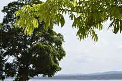 Detaljer av filialer av ett träd i tropiskt klimat, den Caroni floden och berg på bakgrund av bilden fotografering för bildbyråer