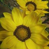 Detaljer av gula blommor Royaltyfri Fotografi