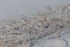 Detaljer av många djupfrysta grässtrån i vinter med snö Royaltyfri Foto