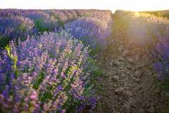 Detaljer av violetta lavendelfält på solnedgång 10 Royaltyfri Fotografi