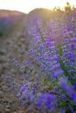 Detaljer av violetta lavendelfält på solnedgång 8 Royaltyfria Foton