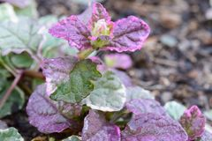 Detaljer för purpurfärgad och grön växt Royaltyfri Fotografi