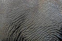 Detaljer för slut av den lösa elefanten flår upp bakgrund, Royaltyfri Fotografi