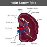 Detaljerad anatomi för mänsklig mjälte Vektorläkarundersökning Arkivfoton
