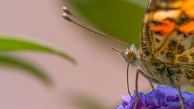 Detaljerad closeup för extrem makro av målad damfjärilsmatning/som pollinerar på vildblomma - i Minnesota arkivfoton