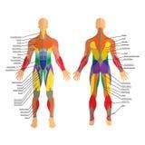 Detaljerad illustration av mänskliga muskler Övning och muskelhandbok Idrottshallutbildning Främre och bakre sikt Royaltyfri Foto