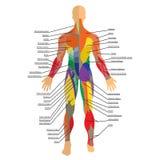 Detaljerad illustration av mänskliga muskler Övning och muskelhandbok Idrottshallutbildning Främre och bakre sikt Arkivbild