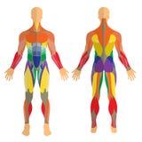 Detaljerad illustration av mänskliga muskler Övning och muskelhandbok Idrottshallutbildning Främre och bakre sikt royaltyfri illustrationer