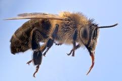 Detaljerad makro av ett honungbi Fotografering för Bildbyråer
