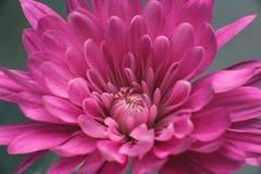 Detaljerad makro för mörk rosa nejlika Royaltyfri Foto