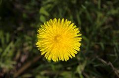 Detaljerad sikt av den gula maskrosblomman med suddiga sidor i gräset Royaltyfria Foton