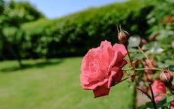Detaljerad sikt av utsmyckad röd ros sett växa i en sommarträdgård royaltyfri foto