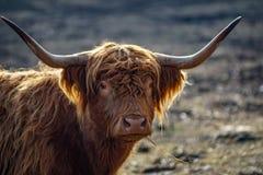 Detaljerad stående av skotskt höglands- nötkreatur royaltyfri fotografi