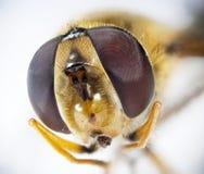 detaljerad stående för bi mycket Arkivbilder