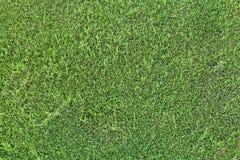 Detaljerad textur av den gröna häckväggen Royaltyfri Foto