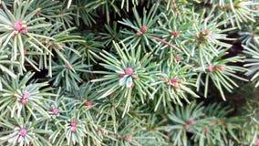 Detaljerad vintergrön Bush makrobakgrund royaltyfri fotografi