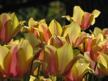 Detaljerade gula tulpan med orange rosa brytningar arkivfoton