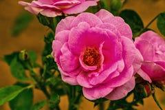 Detaljerade kronblad för rosa färgros Arkivbild