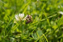 Detaljerat bi på den vita blomningen på grönt gräs royaltyfri fotografi