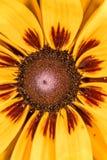 Detaljerat closeupfoto av solrosen i trädgård Royaltyfri Fotografi