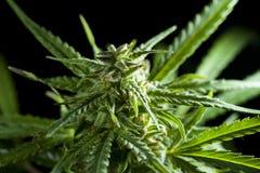 Detaljerat fotografi av Cannabisväxten Arkivfoton