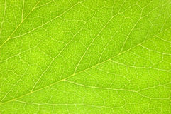 Detaljerat grönt blad, texturerad makroCloseup, stort detaljerat horisontalutrymme för kopia för bakgrundstexturmodell royaltyfria bilder