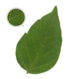 Detaljerat grönt blad med åder och celler Arkivfoton