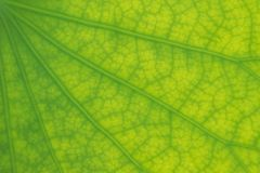 Detaljerat lotusblommablad i slut upp för bakgrund, textur royaltyfri bild