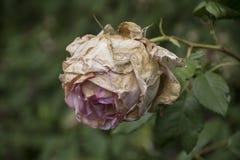 Detaljerat slut upp av den torkade lösa rosa höften i solljus Död natur arkivbilder