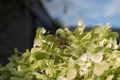 Detaljerat trädgårdupp-slut mikrospindel som slukar det lilla nötkreaturet Royaltyfria Bilder