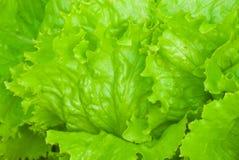 detaljgrönsallat Royaltyfria Foton