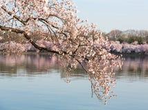 Detaljmakrofotoet av den japanska körsbärsröda blomningen blommar Arkivfoton