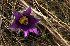 Detaljn?rbild av Pasque blommor i ?ngen royaltyfria foton