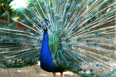 detaljpåfågel Royaltyfri Bild