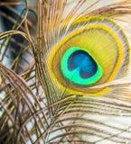 Detaljpåfågelfjäder Arkivbild