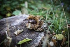 Detaljsamling av mogna kastanjer tätt upp skjutit utomhus- för ö för fall dimmigt Rå kastanjer som skördas i hösten Söt ny kastan arkivbilder