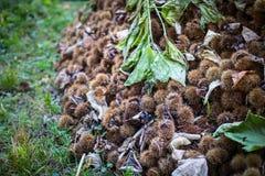 Detaljsamling av mogna kastanjer tätt upp skjutit utomhus- för ö för fall dimmigt Rå kastanjer som skördas i hösten Söt ny kastan royaltyfri fotografi