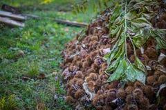 Detaljsamling av mogna kastanjer tätt upp skjutit utomhus- för ö för fall dimmigt Rå kastanjer som skördas i hösten Söt ny kastan royaltyfria foton