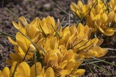 Detaljsikt av ett stort gult krokusfält arkivfoton