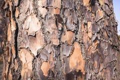 Detalle áspero de la piel del árbol Foto de archivo libre de regalías